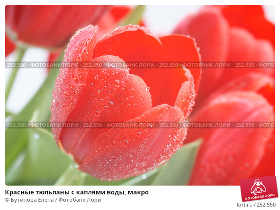 Красные тюльпаны с каплями воды, макро, фото № 252550, снято 21 марта 2008 г. (c) Бутинова Елена / Фотобанк Лори