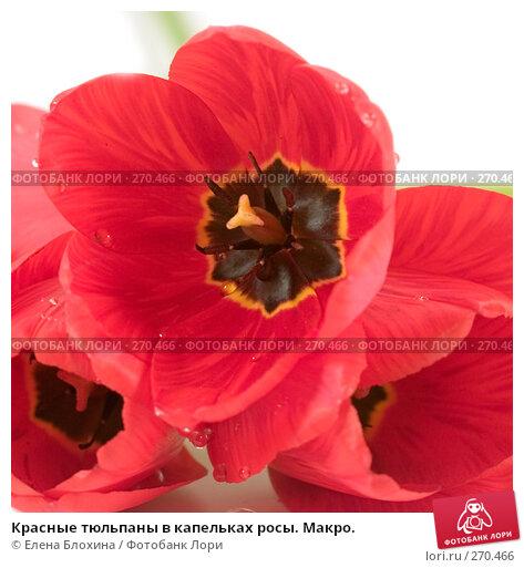 Красные тюльпаны в капельках росы. Макро., фото № 270466, снято 3 мая 2008 г. (c) Елена Блохина / Фотобанк Лори