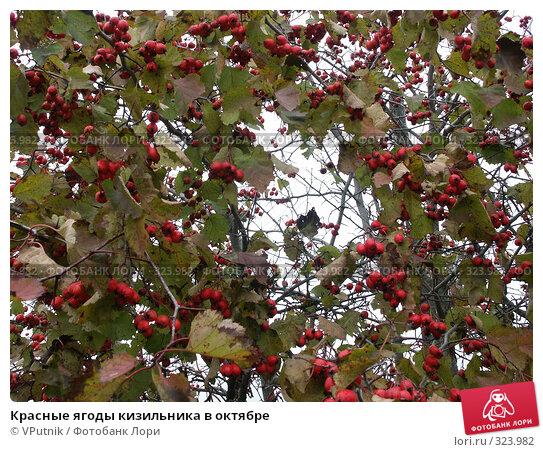 Красные ягоды кизильника в октябре, фото № 323982, снято 27 октября 2004 г. (c) VPutnik / Фотобанк Лори