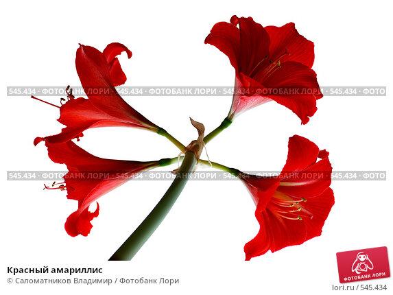 Купить «Красный амариллис», фото № 545434, снято 19 февраля 2008 г. (c) Саломатников Владимир / Фотобанк Лори
