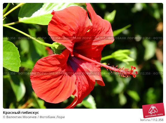 Купить «Красный гибискус», фото № 112358, снято 18 сентября 2004 г. (c) Валентин Мосичев / Фотобанк Лори