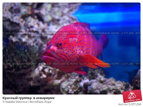 Красный группер  в аквариуме. Стоковое фото, фотограф Natalya Sidorova / Фотобанк Лори