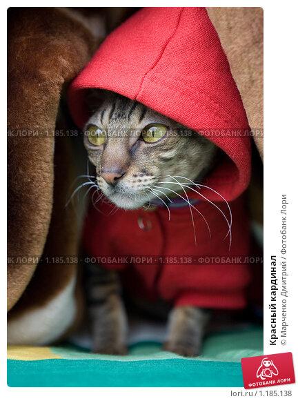 Купить «Красный кардинал», фото № 1185138, снято 13 сентября 2009 г. (c) Марченко Дмитрий / Фотобанк Лори
