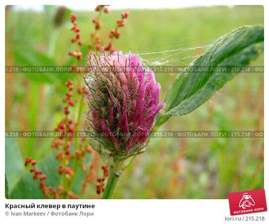 Купить «Красный клевер в паутине», фото № 215218, снято 16 июня 2007 г. (c) Ivan Markeev / Фотобанк Лори