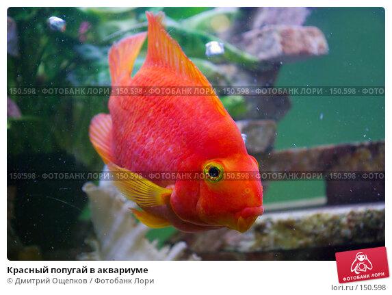 Красный попугай в аквариуме, фото № 150598, снято 2 июня 2007 г. (c) Дмитрий Ощепков / Фотобанк Лори