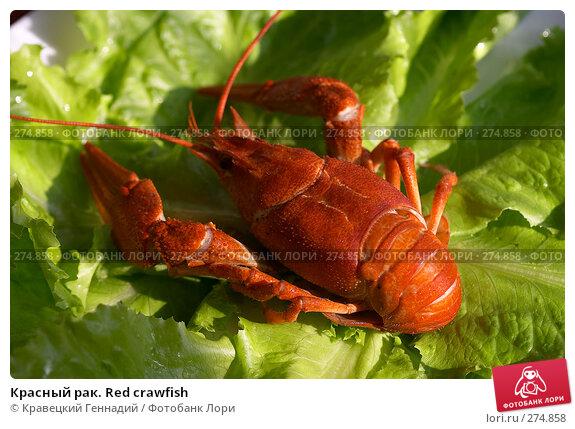 Красный рак. Red crawfish, фото № 274858, снято 23 июля 2004 г. (c) Кравецкий Геннадий / Фотобанк Лори