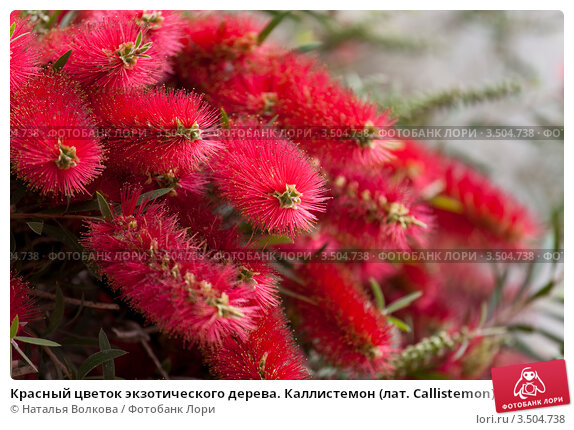 Красный цветок экзотического дерева. Каллистемон (лат ...: https://lori.ru/3504738