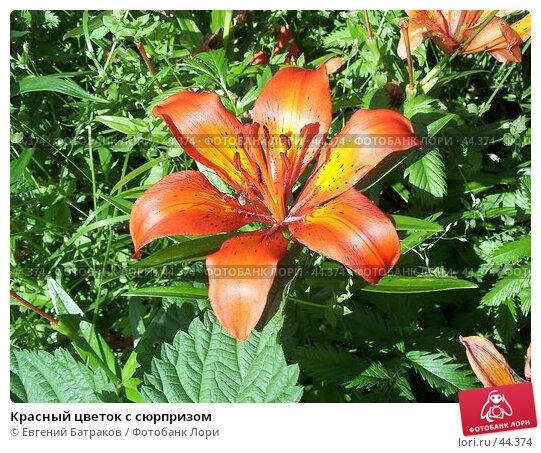 Красный цветок с сюрпризом, фото № 44374, снято 17 июля 2003 г. (c) Евгений Батраков / Фотобанк Лори