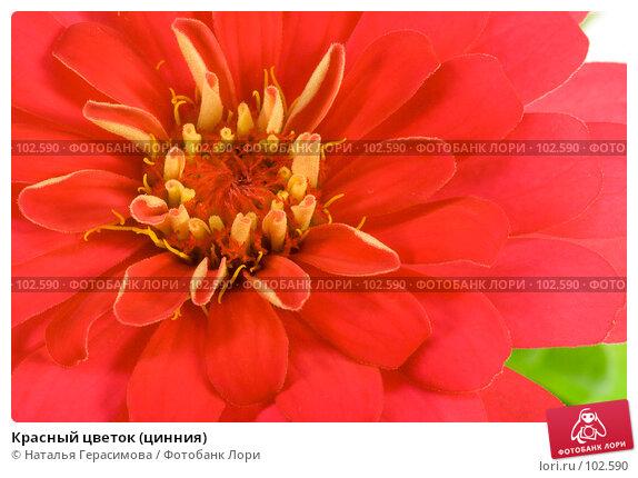Красный цветок (цинния), фото № 102590, снято 25 июля 2017 г. (c) Наталья Герасимова / Фотобанк Лори