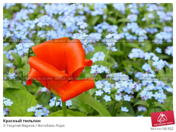 Красный тюльпан, фото № 60922, снято 25 мая 2007 г. (c) Георгий Марков / Фотобанк Лори