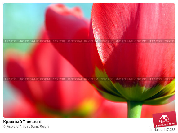 Красный Тюльпан, фото № 117238, снято 15 мая 2005 г. (c) Astroid / Фотобанк Лори