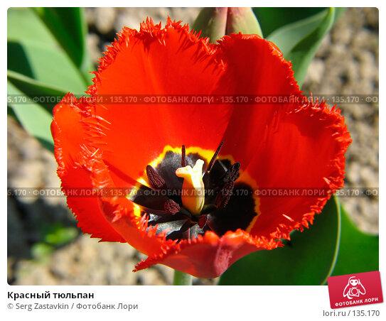 Красный тюльпан, фото № 135170, снято 20 мая 2005 г. (c) Serg Zastavkin / Фотобанк Лори