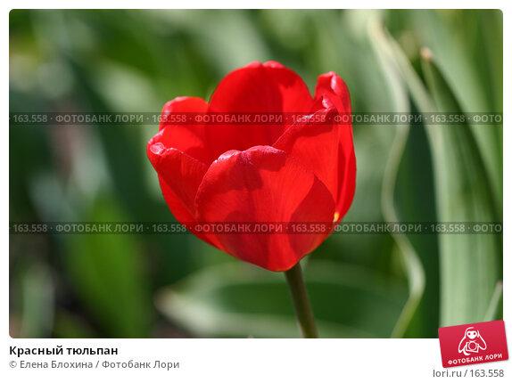 Красный тюльпан, фото № 163558, снято 10 мая 2007 г. (c) Елена Блохина / Фотобанк Лори