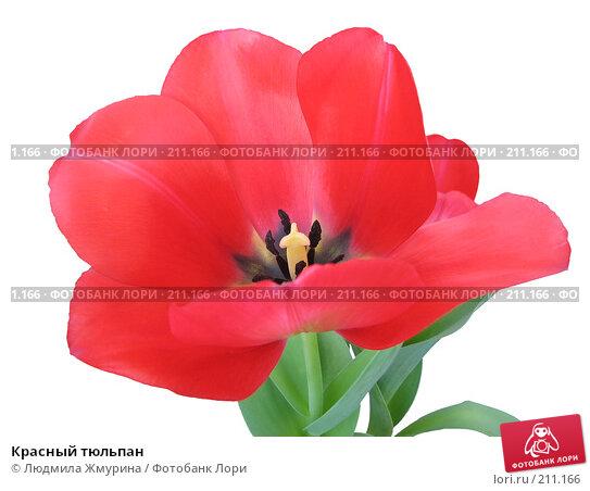Красный тюльпан, фото № 211166, снято 26 февраля 2008 г. (c) Людмила Жмурина / Фотобанк Лори