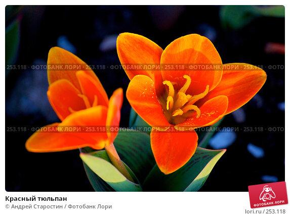 Красный тюльпан, фото № 253118, снято 9 апреля 2008 г. (c) Андрей Старостин / Фотобанк Лори
