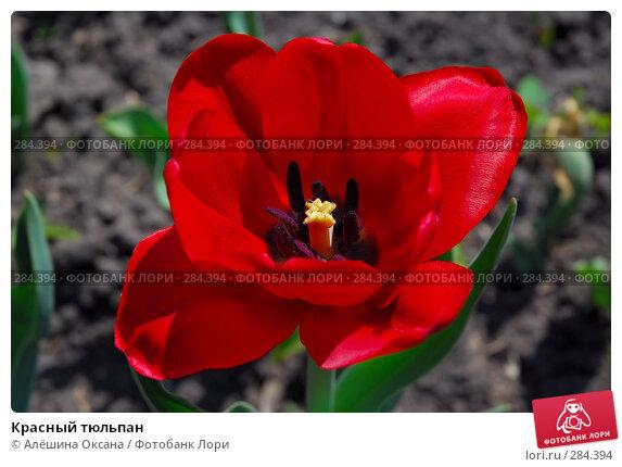 Красный тюльпан, фото № 284394, снято 12 мая 2008 г. (c) Алёшина Оксана / Фотобанк Лори