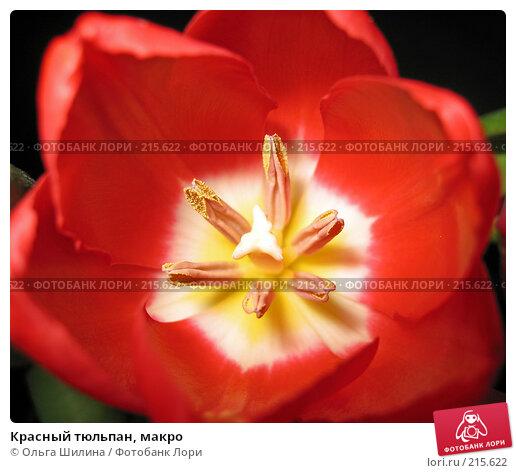 Красный тюльпан, макро, фото № 215622, снято 28 марта 2017 г. (c) Ольга Шилина / Фотобанк Лори