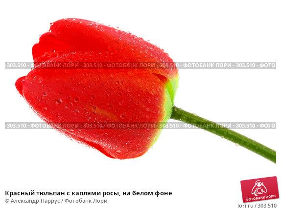 Красный тюльпан с каплями росы, на белом фоне, фото № 303510, снято 21 апреля 2008 г. (c) Александр Паррус / Фотобанк Лори
