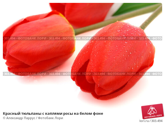 Красный тюльпаны с каплями росы на белом фоне, фото № 303494, снято 21 апреля 2008 г. (c) Александр Паррус / Фотобанк Лори