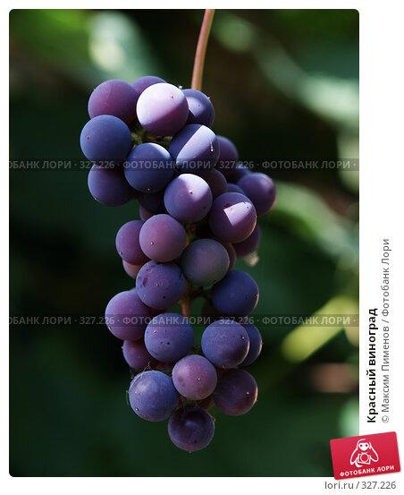 Красный виноград, фото № 327226, снято 3 сентября 2006 г. (c) Максим Пименов / Фотобанк Лори