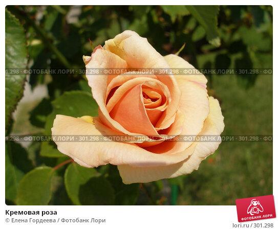 Кремовая роза, фото № 301298, снято 24 июля 2006 г. (c) Елена Гордеева / Фотобанк Лори