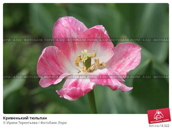 Кривенький тюльпан, эксклюзивное фото № 4322, снято 29 мая 2006 г. (c) Ирина Терентьева / Фотобанк Лори