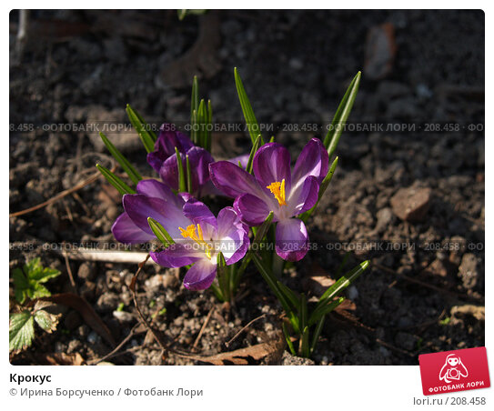Крокус, фото № 208458, снято 25 марта 2007 г. (c) Ирина Борсученко / Фотобанк Лори