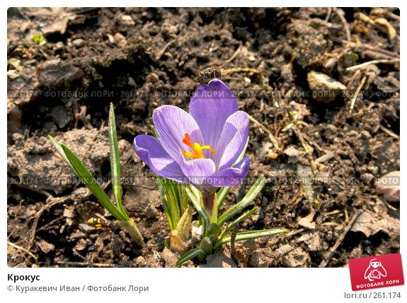 Крокус, фото № 261174, снято 31 марта 2008 г. (c) Куракевич Иван / Фотобанк Лори