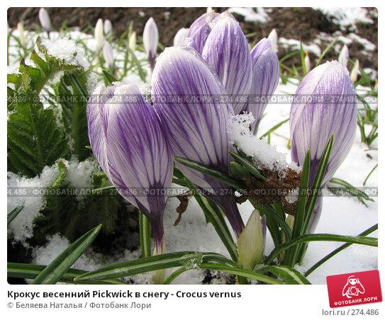 Крокус весенний Pickwick в снегу - Crocus vernus, фото № 274486, снято 5 мая 2007 г. (c) Беляева Наталья / Фотобанк Лори