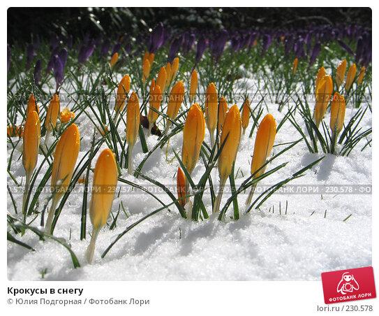 Крокусы в снегу, фото № 230578, снято 19 марта 2008 г. (c) Юлия Селезнева / Фотобанк Лори