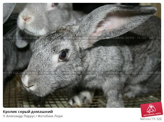 Кролик серый домашний, фото № 11122, снято 27 августа 2006 г. (c) Александр Паррус / Фотобанк Лори