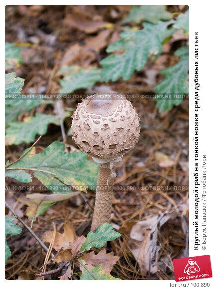 Круглый молодой гриб на тонкой ножке среди дубовых листьев, фото № 100890, снято 4 октября 2007 г. (c) Борис Панасюк / Фотобанк Лори