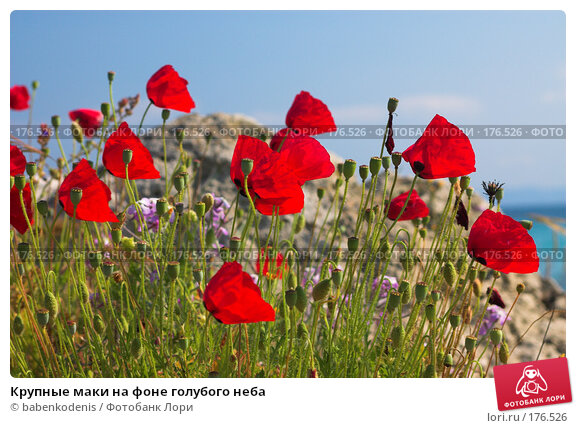 Крупные маки на фоне голубого неба, фото № 176526, снято 8 мая 2006 г. (c) Бабенко Денис Юрьевич / Фотобанк Лори