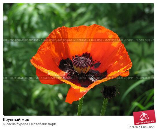 Купить «Крупный мак», фото № 1049058, снято 26 июня 2009 г. (c) елена бурова / Фотобанк Лори