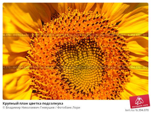 Крупный план цветка подсолнуха. Стоковое фото, фотограф Владимир Николаевич Гневушев / Фотобанк Лори