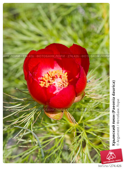 Крымский пион (Paeonia daurica), фото № 274426, снято 26 апреля 2008 г. (c) Argument / Фотобанк Лори