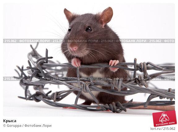 Крыса, фото № 215062, снято 19 октября 2007 г. (c) Goruppa / Фотобанк Лори