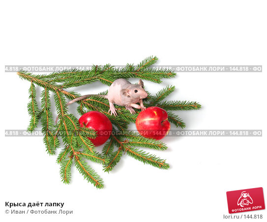 Крыса даёт лапку, фото № 144818, снято 23 сентября 2007 г. (c) Иван / Фотобанк Лори
