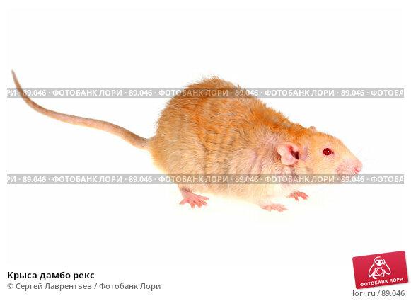 Крыса дамбо рекс, фото № 89046, снято 23 сентября 2007 г. (c) Сергей Лаврентьев / Фотобанк Лори