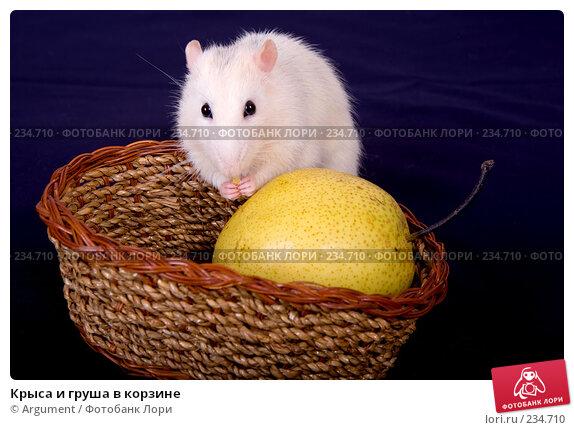 Купить «Крыса и груша в корзине», фото № 234710, снято 21 марта 2008 г. (c) Argument / Фотобанк Лори