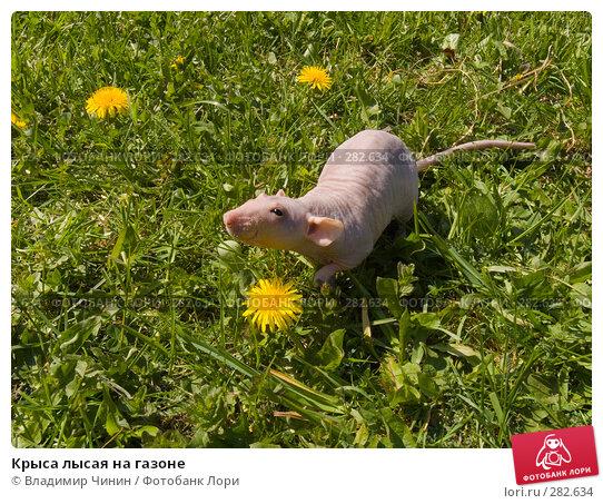 Крыса лысая на газоне, эксклюзивное фото № 282634, снято 12 мая 2008 г. (c) Владимир Чинин / Фотобанк Лори