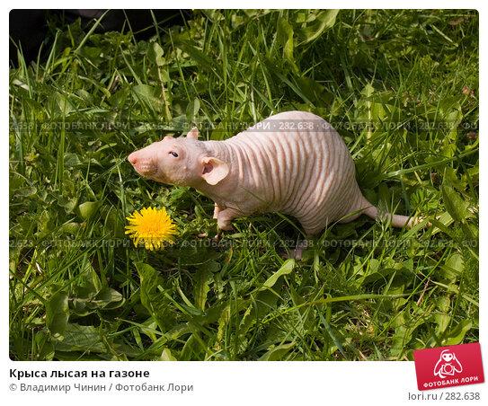 Крыса лысая на газоне, эксклюзивное фото № 282638, снято 9 мая 2008 г. (c) Владимир Чинин / Фотобанк Лори
