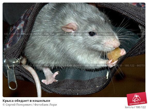 Купить «Крыса обедает в кошельке», фото № 180122, снято 3 февраля 2006 г. (c) Сергей Попсуевич / Фотобанк Лори