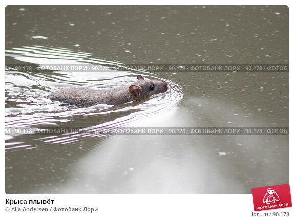 Крыса плывёт, фото № 90178, снято 29 сентября 2007 г. (c) Alla Andersen / Фотобанк Лори
