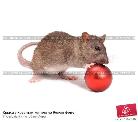 Крыса с красным мячом на белом фоне, фото № 167510, снято 16 января 2017 г. (c) AlexValent / Фотобанк Лори