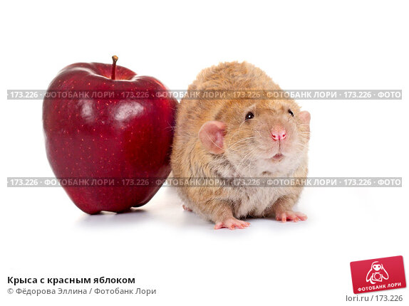 Крыса с красным яблоком, фото № 173226, снято 29 ноября 2007 г. (c) Фёдорова Эллина / Фотобанк Лори