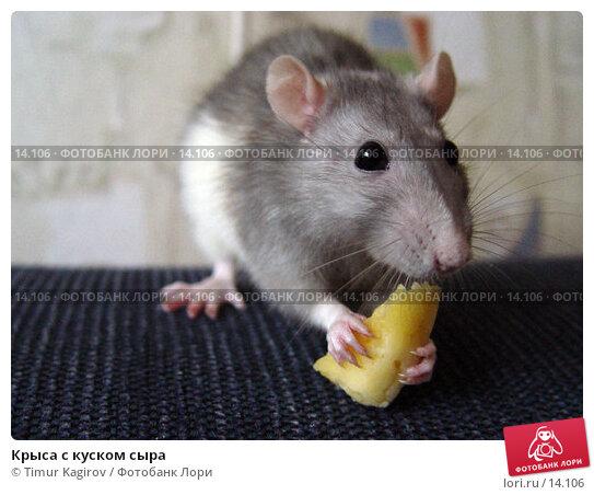 Крыса с куском сыра, фото № 14106, снято 18 ноября 2006 г. (c) Timur Kagirov / Фотобанк Лори