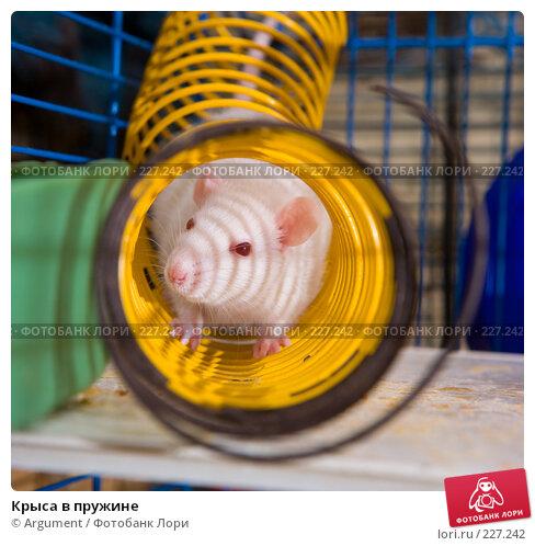 Купить «Крыса в пружине», фото № 227242, снято 9 февраля 2008 г. (c) Argument / Фотобанк Лори