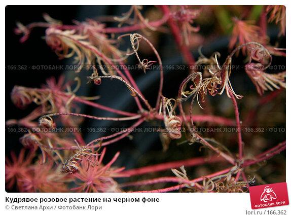 Кудрявое розовое растение на черном фоне, фото № 166362, снято 7 октября 2006 г. (c) Светлана Архи / Фотобанк Лори