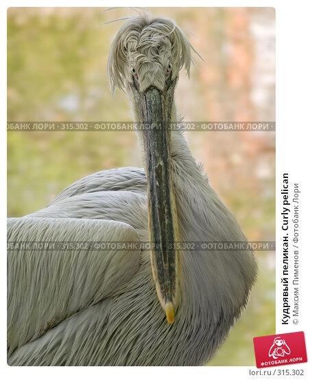 Кудрявый пеликан. Curly pelican, фото № 315302, снято 10 мая 2008 г. (c) Максим Пименов / Фотобанк Лори